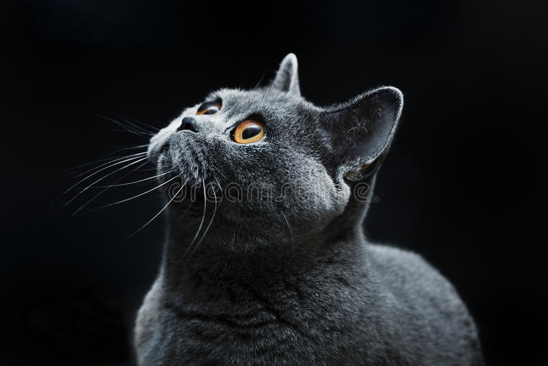 Cat with dark yellow eyes. Grey cat with dark yellow eyes royalty free stock photos