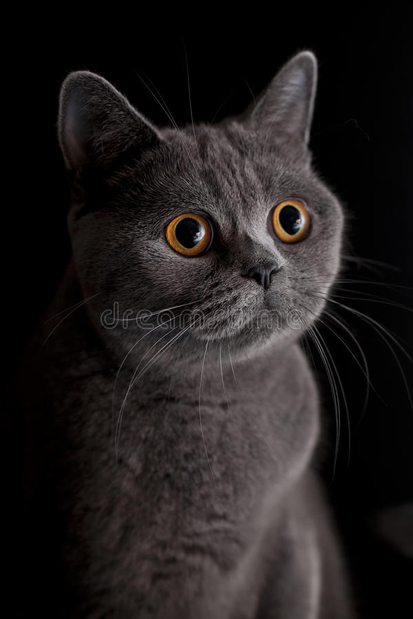 Cat with dark yellow eyes. Snout of cat with dark yellow eyes stock photo