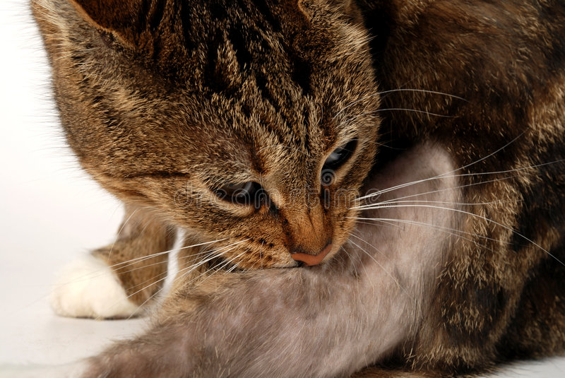 Cat with dermatitis stock image