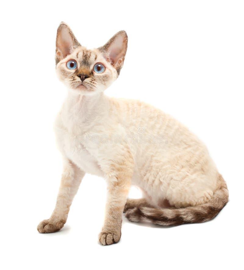 Cat Devon Rex. On white background royalty free stock image