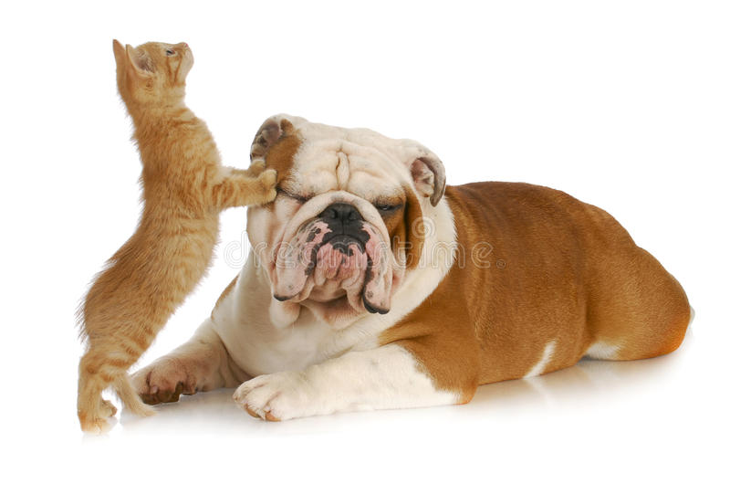 Download Cat and dog stock image. Image of friends, bulldog, portrait - 19554325