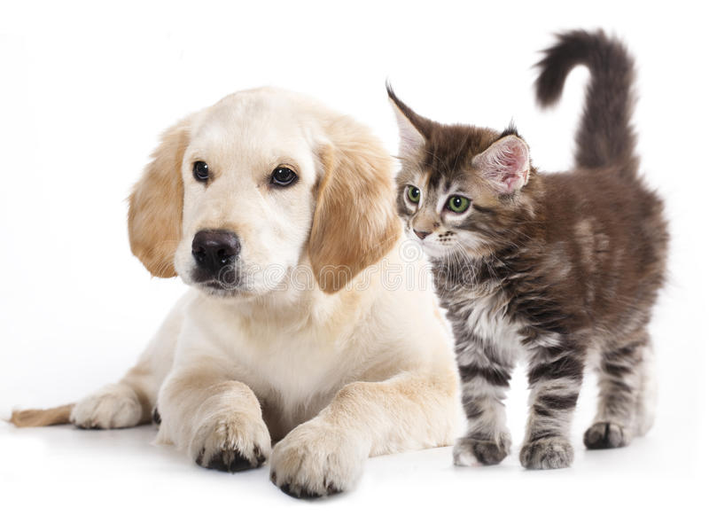 Cat and dog. Labrador puppy and kitten breeds Maine Coon, Cat and dog