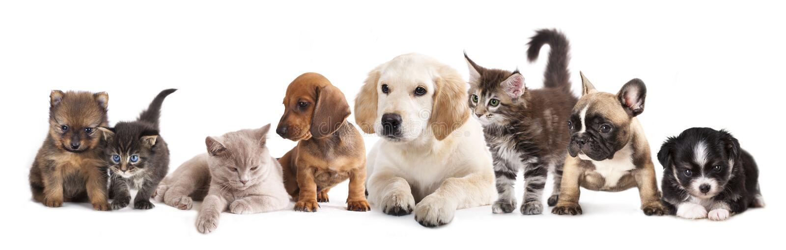 Cat and dog. Puppies and kittens , Group of cats and dogs in front of white background