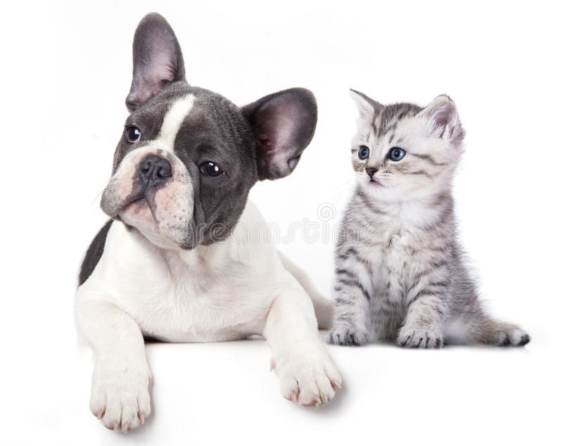 Cat and dog. British kitten and French Bulldog puppy stock images