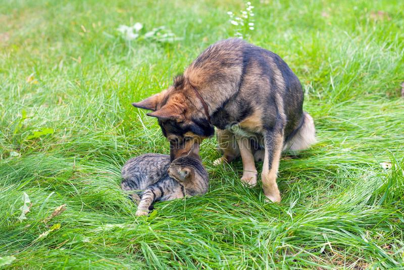 Cat and dog playing together on the grass. Cat with dog - best friends, outdoor on the grass. The dog sniffs a cat royalty free stock images