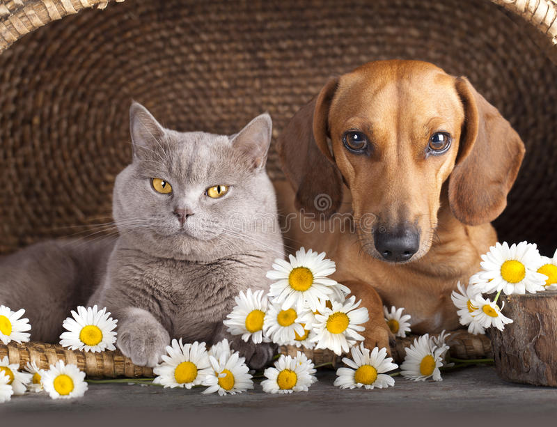 Cat and dog. British kitten and dog red dachshund, cat and dog royalty free stock photo