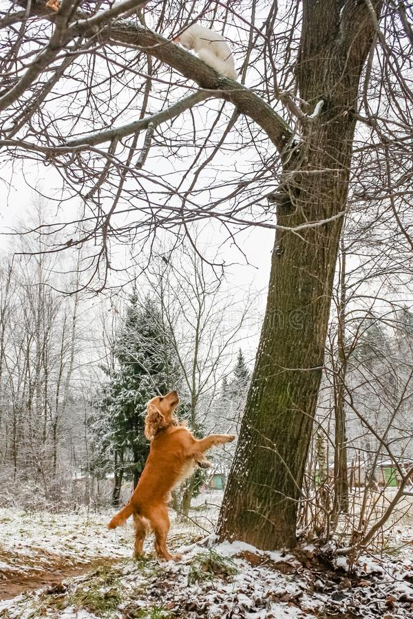 A cat from a dog climbed a tree. Conflict between dog cocker spaniel and angora cat. a cat from a dog climbed a tree. Pets confrontation and clash outdoors stock images