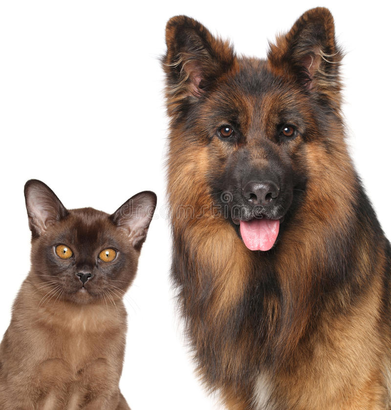 Cat and Dog close-up isolated. Cat and Dog together isolated on white background royalty free stock image