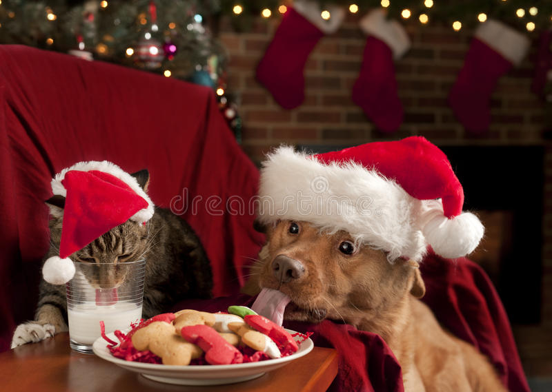 Cat and Dog devouring Santa's cookies and milk. Cat and Dog eating and drinking Santa's cookies and milk royalty free stock photography
