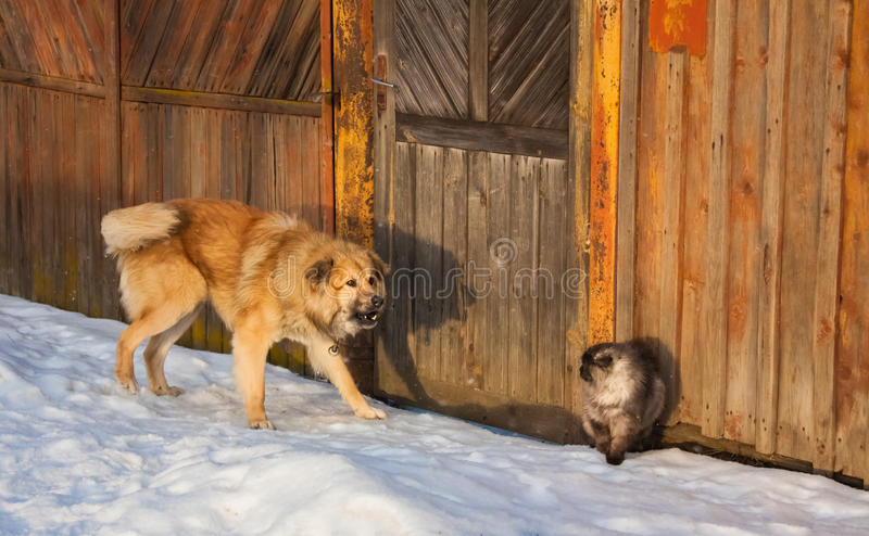 Cat and dog fighting. Angry dog hunting a scared cat stock photography