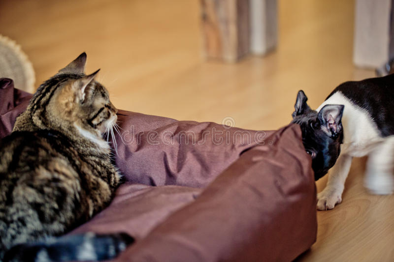 Cat and Dog. Housecat resting on Boston Terrier Puppies dog bed stock photo