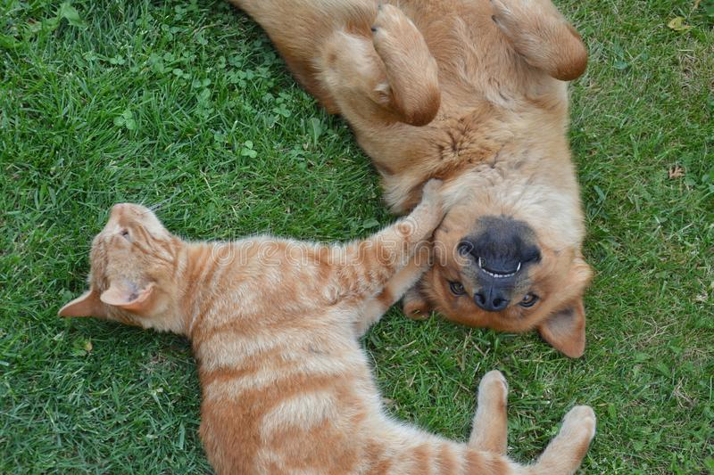 Cat and dog playing tenderly on the grass. Cat and dog playing tenderly on a grass stock images