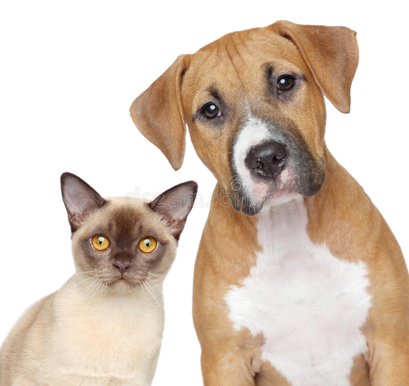Cat and Dog portrait on a white background. Burmese cat and Staffordshire Terrier portrait on white background stock photo