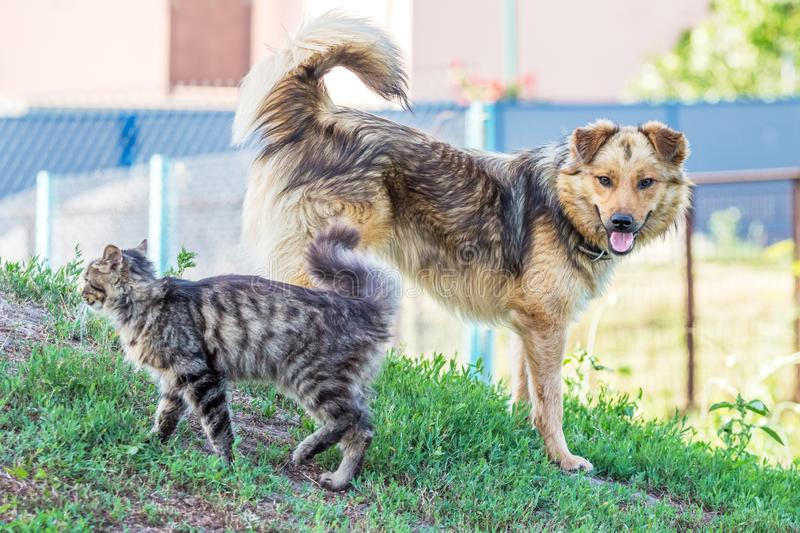 A cat and a dog stand next among the green grass in the summer. Cat and dog are friends_. A cat and a dog stand next among the green grass in the summer. Cat and royalty free stock photo