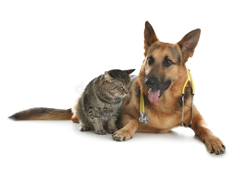 Cat and dog with stethoscope as veterinarian. On white background royalty free stock photos