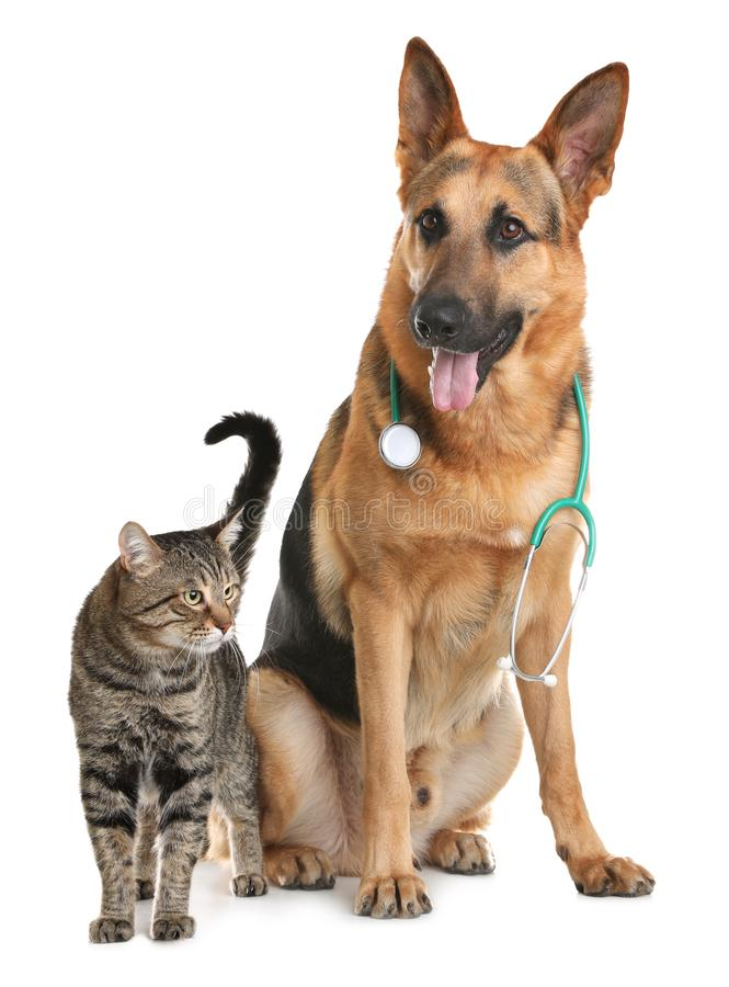 Cat and dog with stethoscope as veterinarian. On white background stock image