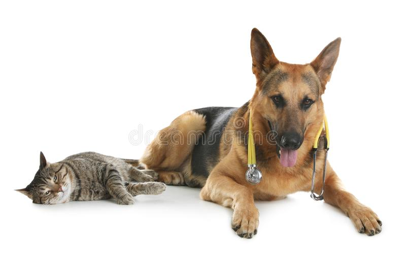 Cat and dog with stethoscope as veterinarian on white. Background stock images