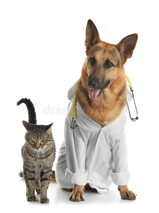 Cat and dog with stethoscope dressed as veterinarian. On white background stock photo