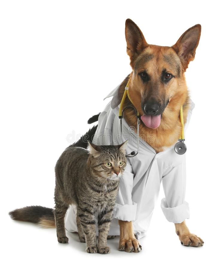 Cat and dog with stethoscope dressed as veterinarian. On white background stock photography