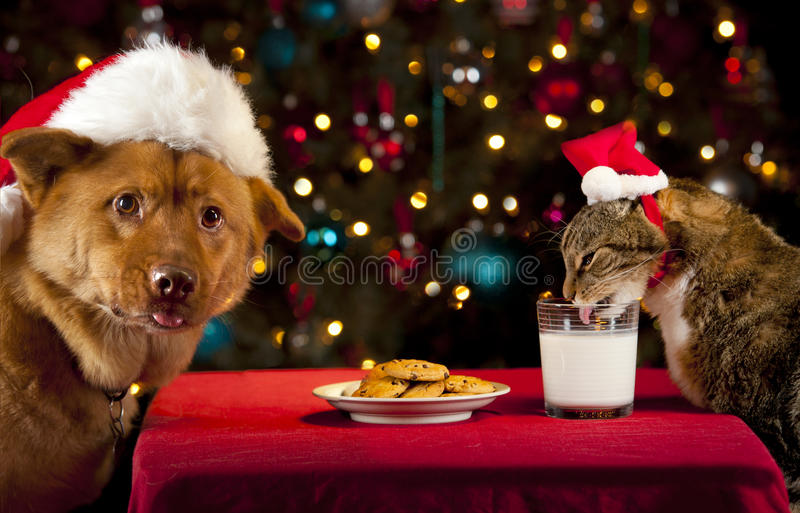 Cat and Dog taking over Santa's cookies and milk. Cat and Dog eating and drinking Santa's cookies and milk royalty free stock photo