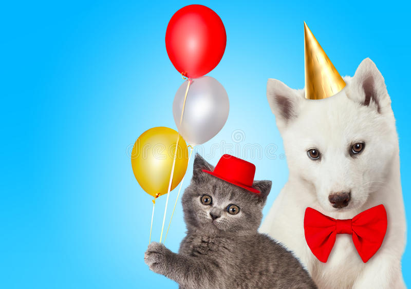 Cat and dog together with birthday party hats, Scottish kitten, Husky puppy. Blue background stock photos