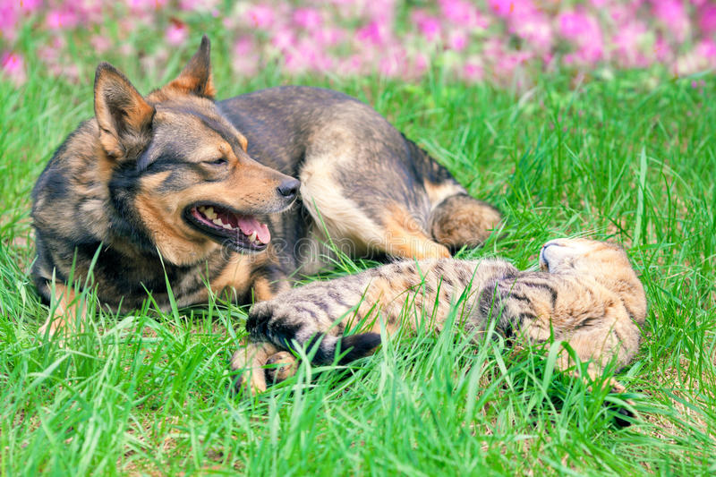 Cat and dog together. Cat and dog have a rest on the grass royalty free stock photography