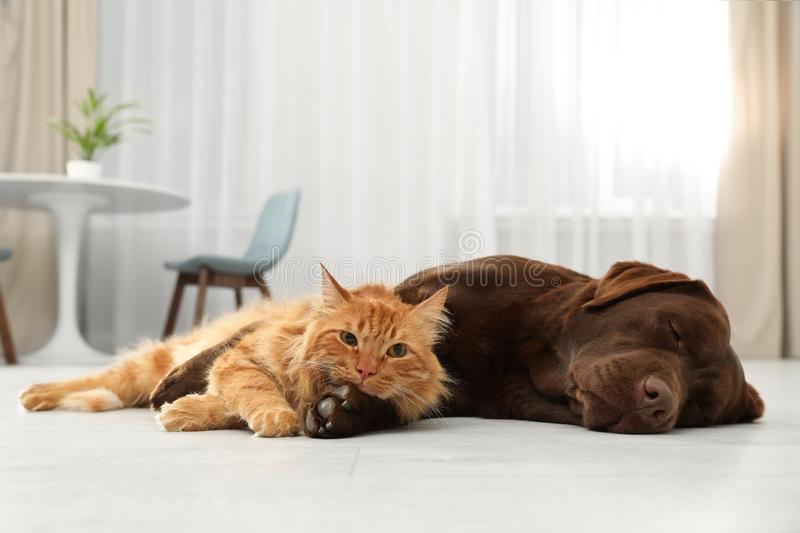 Cat and dog together looking at camera on floor. Fluffy friends royalty free stock images