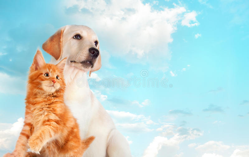 Cat and dog together, maine coon kitten, golden retriever looks at right. Blue sky, cloudy background.  royalty free stock photo