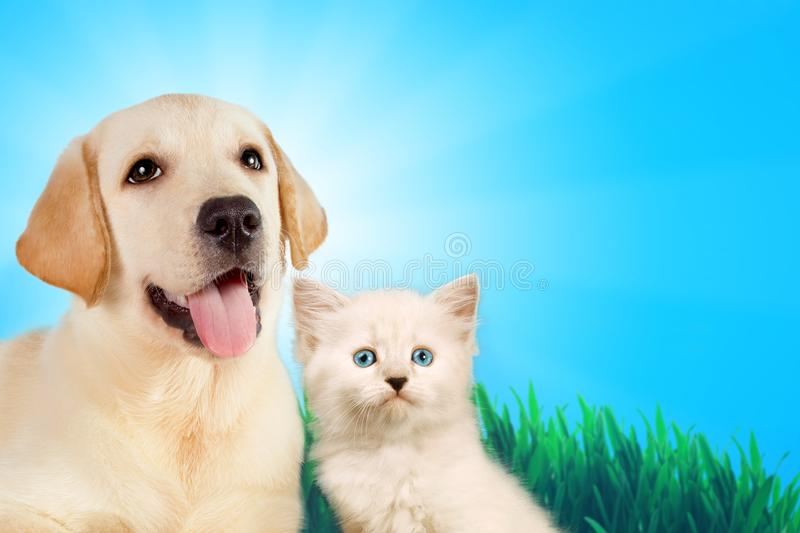 Cat and dog together, neva masquerade kitten, golden retriever looks at right on grass, spring concept. Cat and dog together, neva masquerade kitten, golden stock image