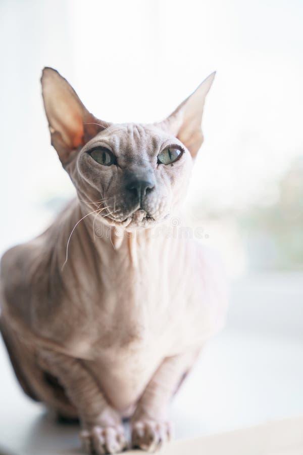 Cat Don Sphynx op het vensterbankclose-up stock foto