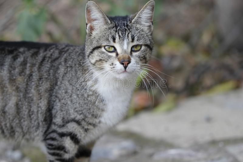 Cat, Dragon Li, Fauna, Mammal royalty free stock images