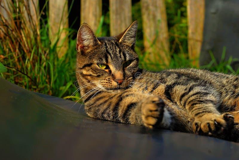 Cat, Dragon Li, Fauna, Mammal royalty free stock image