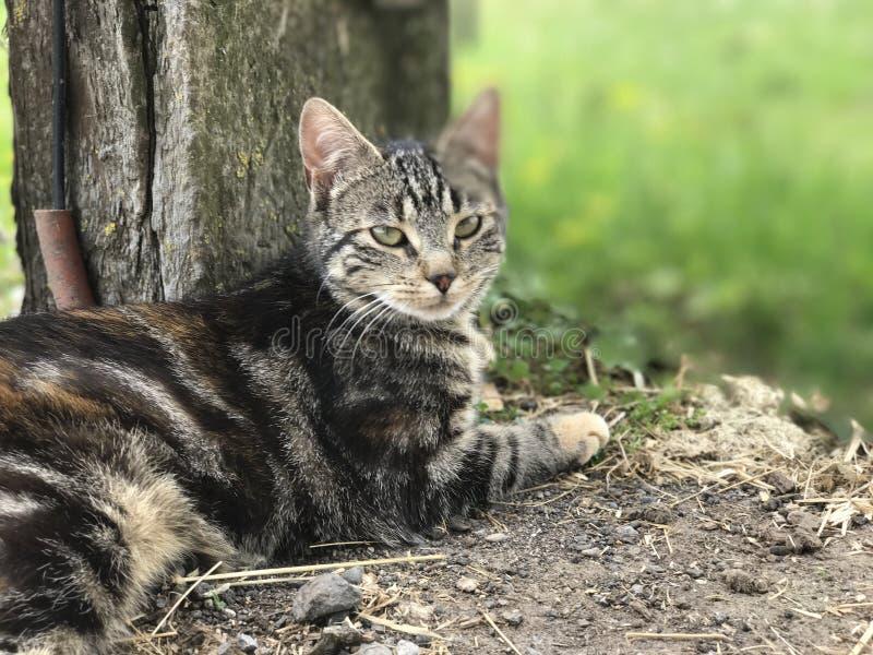 Cat, Dragon Li, Mammal, Small To Medium Sized Cats stock images