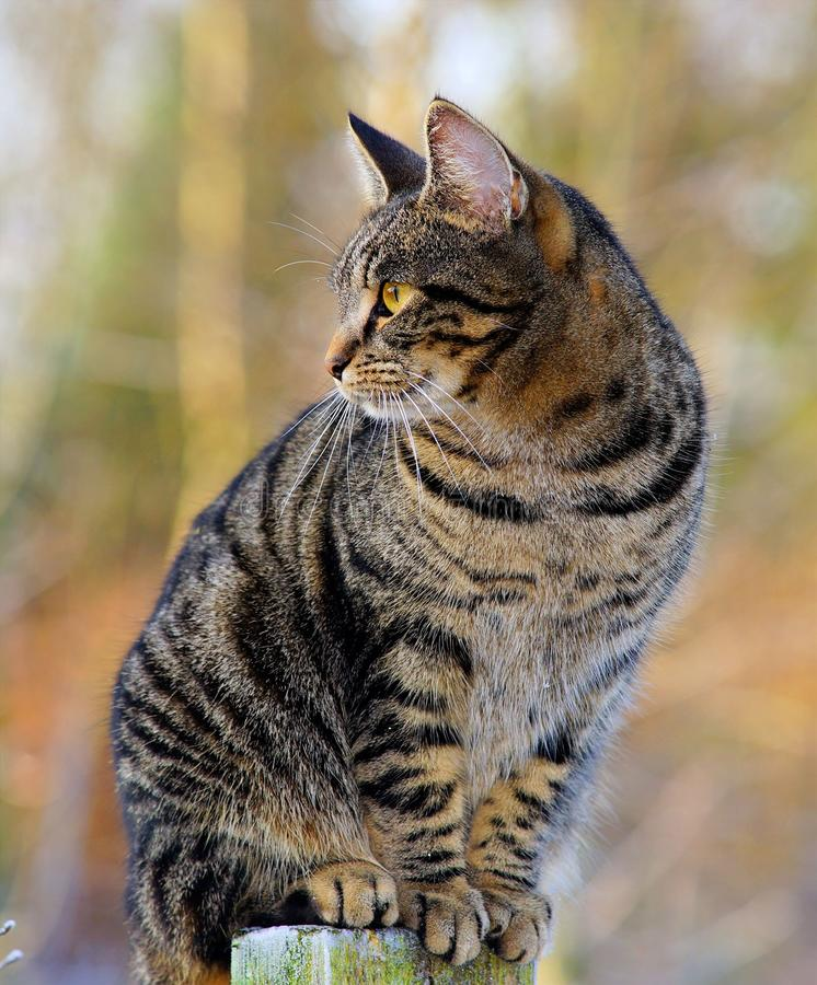 Cat, Dragon Li, Whiskers, Tabby Cat royalty free stock images