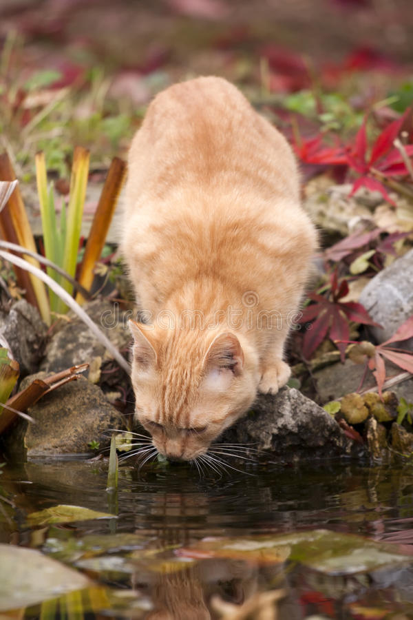 Download Cat drinking stock image. Image of pond, leaves, drinking - 22764563