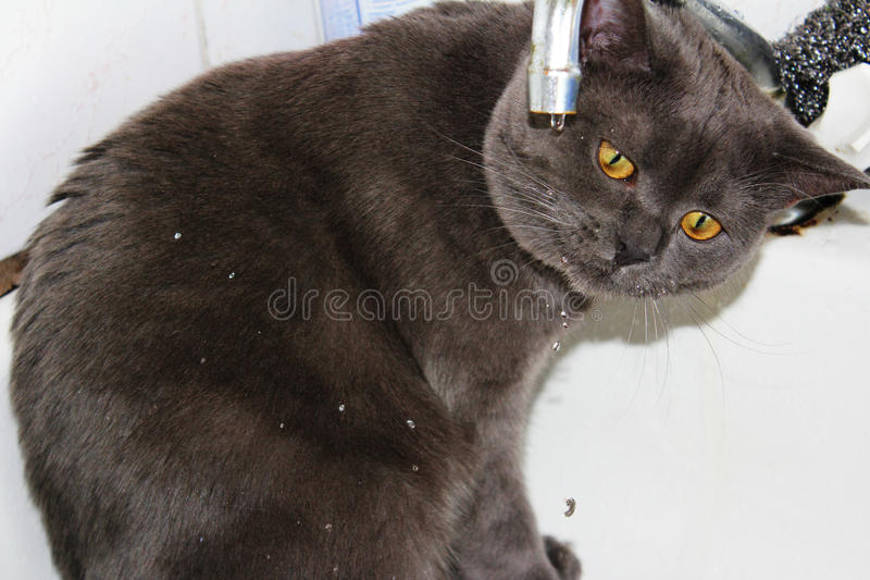 Cat drinking from faucet stock image. Image of fluffy - 45494159