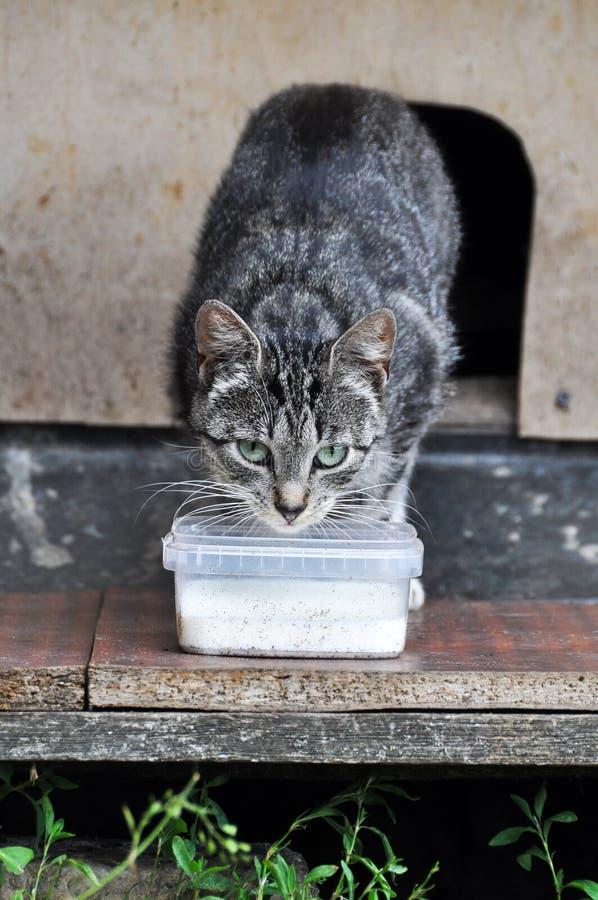 Cat Drinking Milk Outdoors stock afbeelding