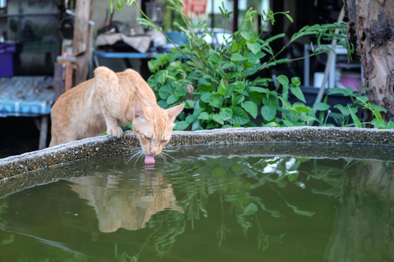 Cat drinking stock photography