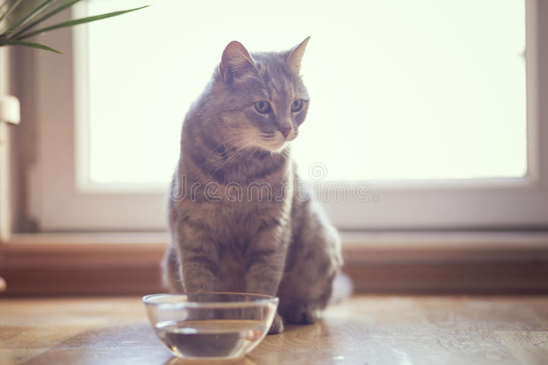 Cat drinking water. Beautiful tabby cat sitting next to a bowl of water, placed on the floor next to the living room window. Selective focus royalty free stock image
