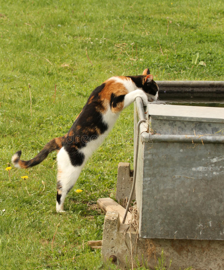Cat drinking from a water. Calico or tortoiseshell cat drinking from a water trough outside with copy space royalty free stock photography
