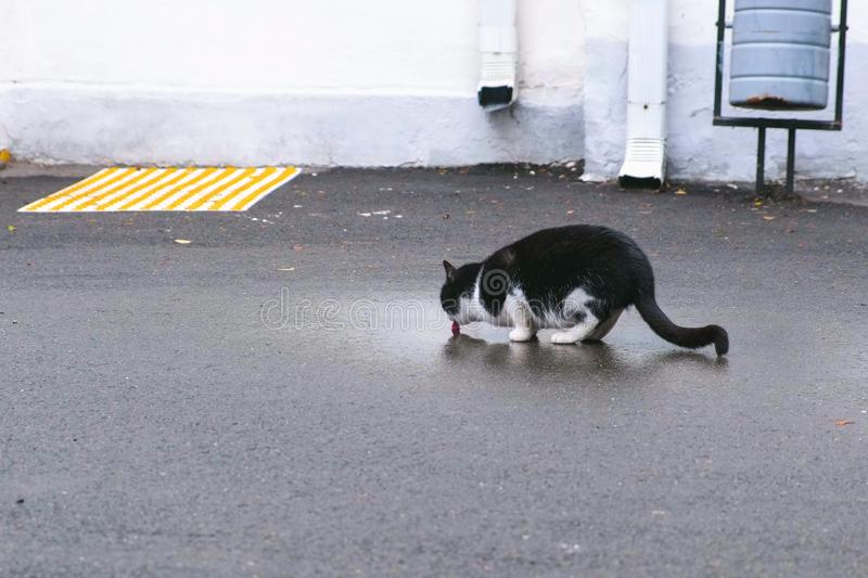 Cat drinking water from a puddle on the pavement. stock photography