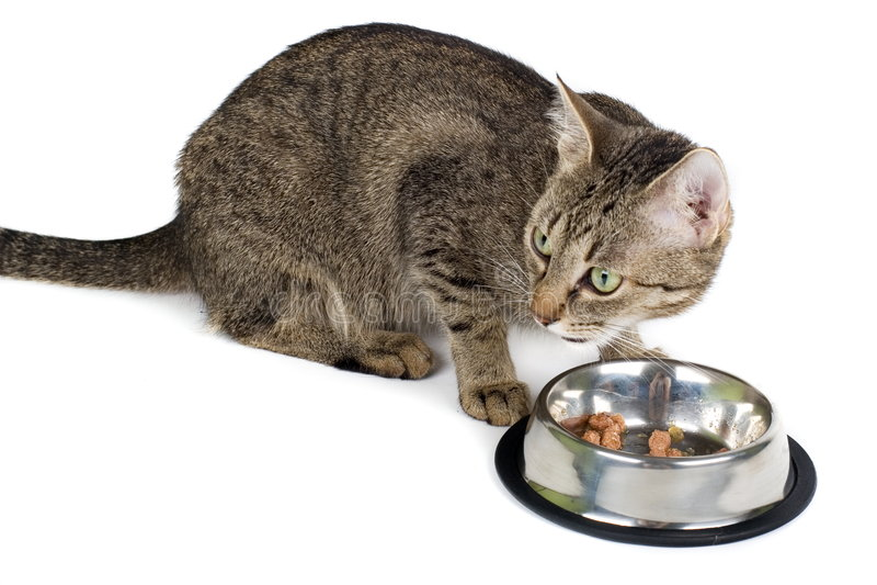 cat eating στοκ εικόνα