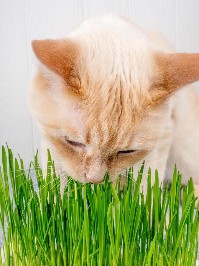 Cat is eating fresh green grass. Cat grass, pet grass. Natural hairball treatment, white, red pet cat eating fresh grass. Green oats, emotionally, copy space royalty free stock images