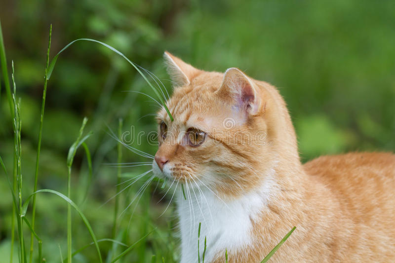 Cat eating grass for health. Cat outside in the garden eating grass stock photo