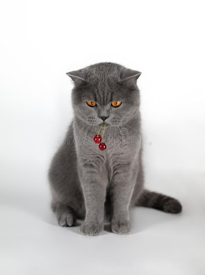 The cat eats the berry cherry. A cute fat British cat stole a berry. British grey cat with red cherry berry on white royalty free stock photo