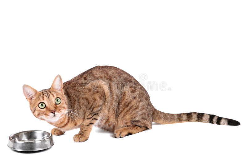 Download Cat eats stock photo. Image of bengalensis, eating, nature - 37498180