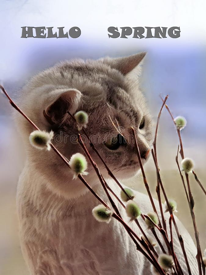 Hello Spring Cute Cat sniffs spring plants willow spring comes animals and flowers spring blue spring sky. Cat Enjoy First Spring day Hello Spring Cute Cat stock image