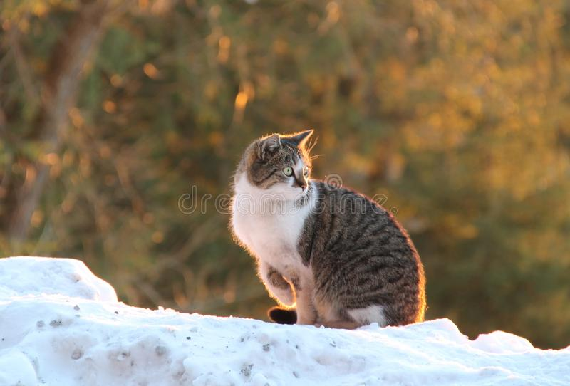 Cat in the evening light. Gray and white cat sitting on the snow and basking in the evening light stock photos