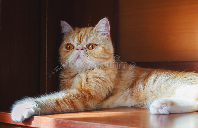 Cat of exotic breed in a niche of the closet. Indoors.  Horizontal format.  Color.  Photo stock photo