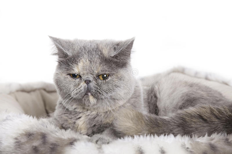 Cat, Exotic persian. Cat on white background, Exotic Persian stock image